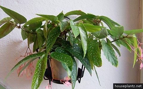 Begonia Albo Picta Bambusiforme Begonia