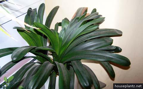 Clivia Miniata Bush Lily Kaffir Lily