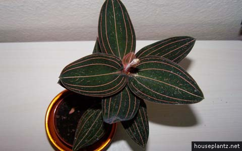 ludisia discolor – jewel orchid