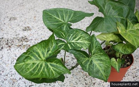 syngonium podophyllum – arrowhead vine, goosefoot plant on