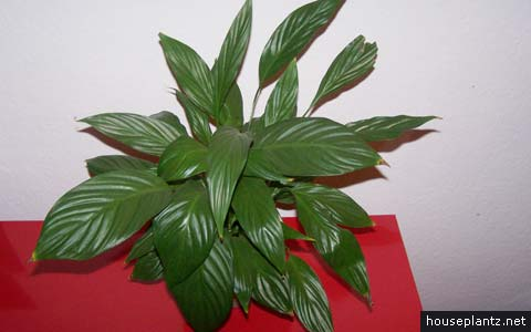 Spathiphyllum wallisii peace lily white sails for Spathiphyllum wallisii