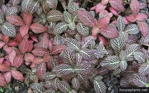 طرق تكاثر نباتات الظل  Fittonia-verschaffeltii