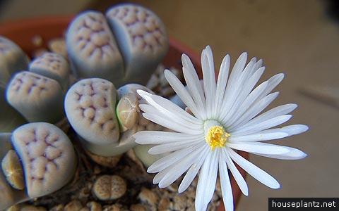 lithops-karasmontana Zamioculcas Houseplant on
